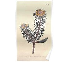 The Botanical magazine, or, Flower garden displayed by William Curtis V13 V14 1799 1800 0102 Pultenaea Stipularis Scaly Pulteaea Poster