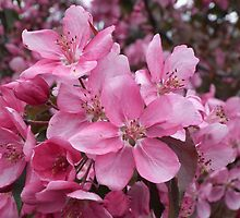 AppleBlossoms close-up by marchello
