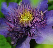 Purple Columbine  by Maria Kumlander