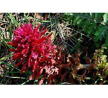 Indian Paintbrush-Mariposa, Ca Photographic Print