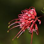 Grevilleas In the Daylight by Joy Watson