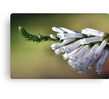 White Delight - Erica Canvas Print