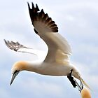 gannet floating in the air by Grandalf