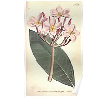 The Botanical magazine, or, Flower garden displayed by William Curtis V7 V8 1794 0135 Plueria Rbra, Red Plumeria Poster