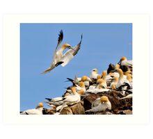 gannet controlled landing Art Print