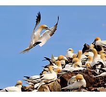 gannet controlled landing Photographic Print