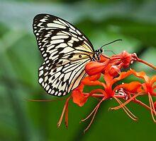 Rice Paper Butterfly on flower by (Tallow) Dave  Van de Laar