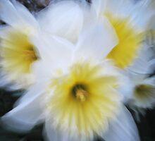 Impressionist white daffodils by Katariina Jarvinen