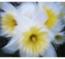 Impressionist white daffodils Photographic Print