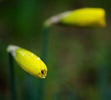 Daffodil buds by Katariina Jarvinen