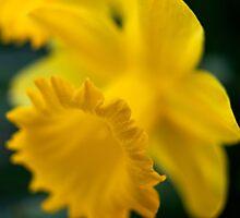 Daffodils by Katariina Jarvinen
