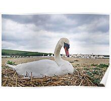 Nesting Mute Swan At Abbotsbury Poster