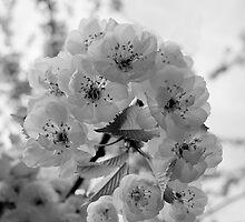 Spring Blossom by John Nelson