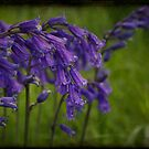Bluebells by Catherine Hadler
