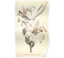 The Botanical magazine, or, Flower garden displayed by William Curtis V7 V8 1794 0133 Lilium Candium, White Lilly Poster