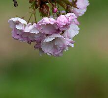 Pink blossoms by Katariina Jarvinen