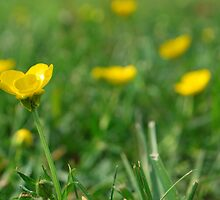 Buttercups  by Jeff Stroud