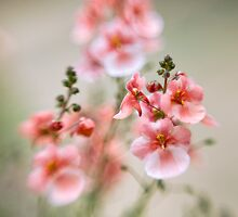 Soft peach by Jacky Parker