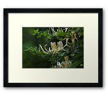 Honeysuckle Framed Print