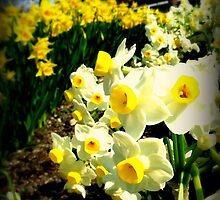 Daffodils  by LloydPhotos117