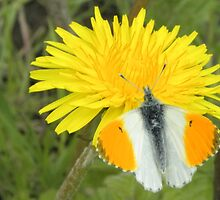 The Dandelion and the Butterfly. by albutross