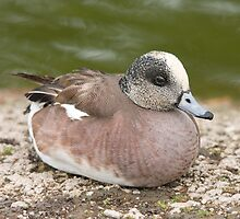 Wigeon by audhudson