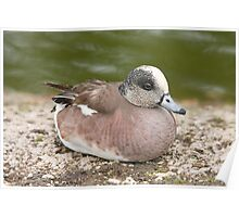 Wigeon Poster