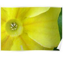 Garden Primrose Poster