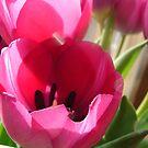 Pink Tulips  by Diane Petker
