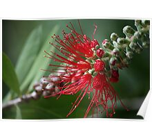 Red flower 0647 Poster