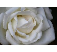 White Rose in Full Bloom Photographic Print