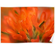 Indian Paintbrush Glory Poster