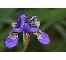 Iris in Spring Photographic Print