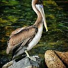 Brown Pelican by Xcarguy