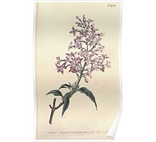 The Botanical magazine, or, Flower garden displayed by William Curtis V13 V14 1799 1800 0127 Syringa Persica Persian Lilac Poster