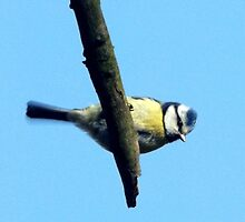 Blue Tit resting on a twigg by Heidi Mooney-Hill