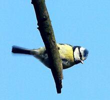 Blue Tit resting on a twigg by Heidi Mooney-Hill