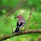 Jay in Tree by David Freeman