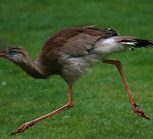 Red-legged Seriema or Crested Cariama by Anne-Marie Bokslag