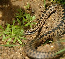 adder soaking up the sun by Grandalf