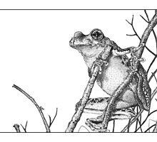 Peron's Tree Frog by Laura Grogan