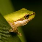 Litoria fallax by Shelley Warbrooke