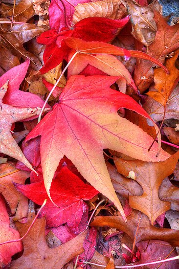 Autumn leaves on the ground at Stirling, Adelaide Hills by Elana Bailey