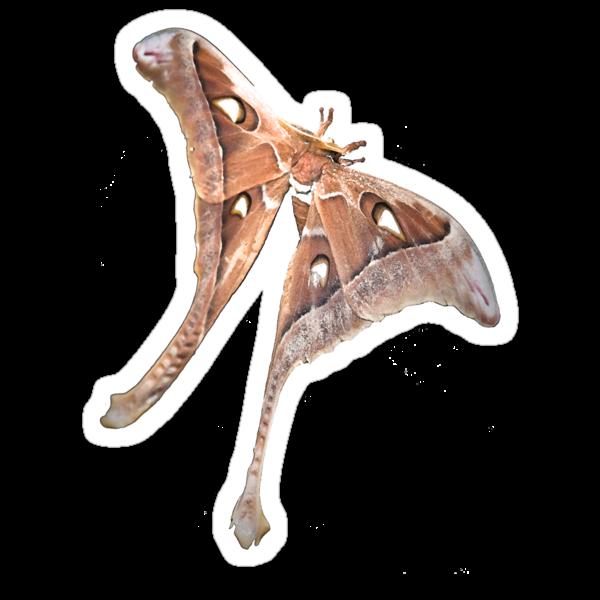 Hercules Moth by col hellmuth