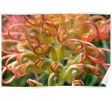 Grevillea - Australian Native Flower Poster