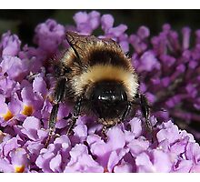 The Bumble Photographic Print