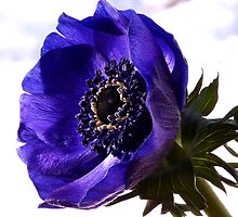 Purple Anemone by OpalFire