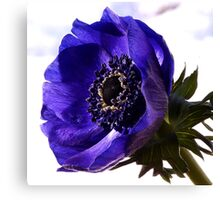 Purple Anemone Canvas Print
