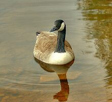 Canada Goose by Jamie  Green