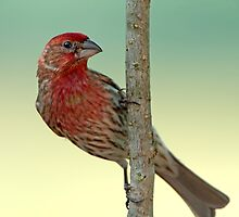 House Finch on a branch  by Bonnie T.  Barry